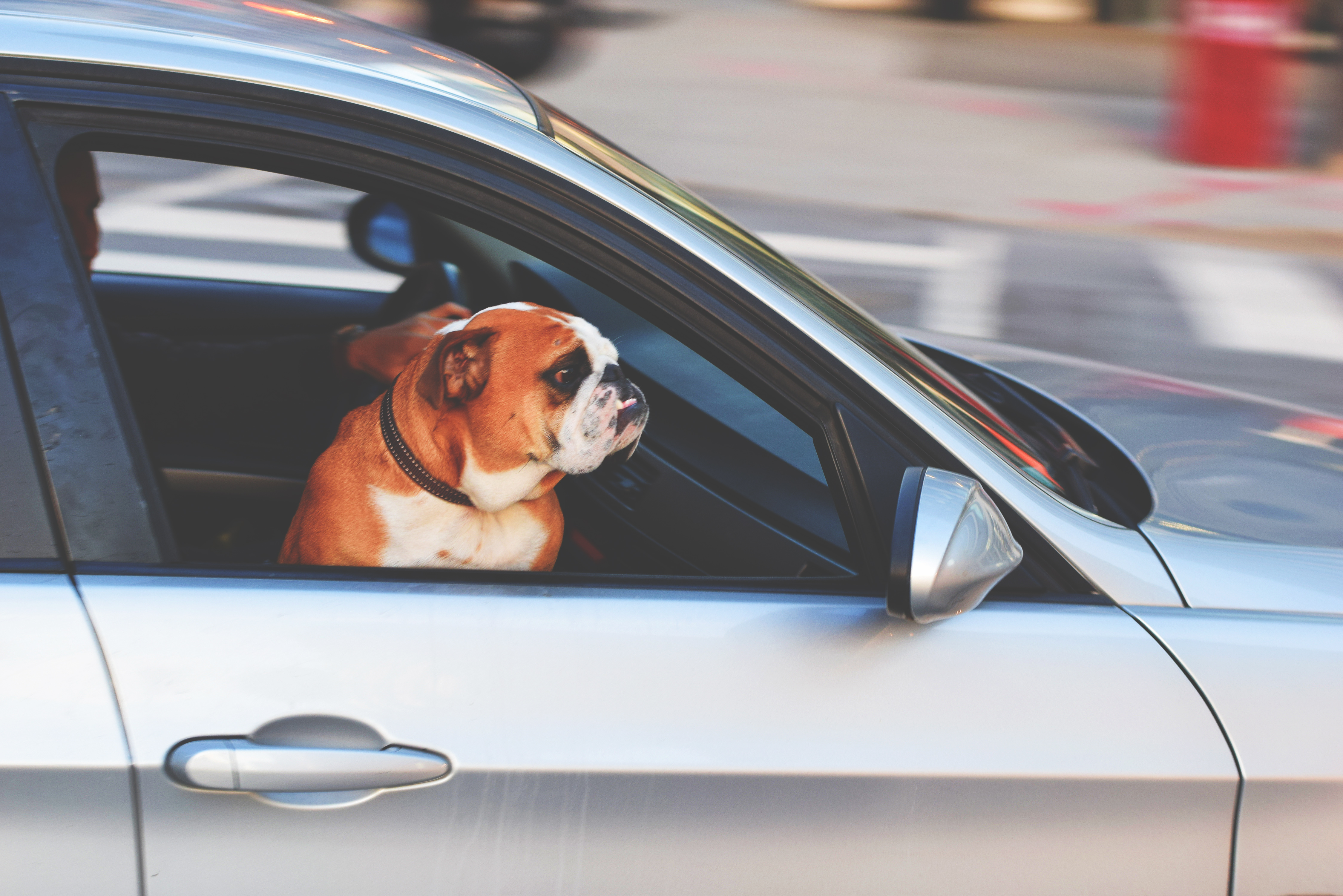 DOG IN CAR 1pexels-photo-236452